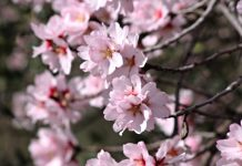 Almond Tree - Flower Of The Almond Tree - Mediterranean