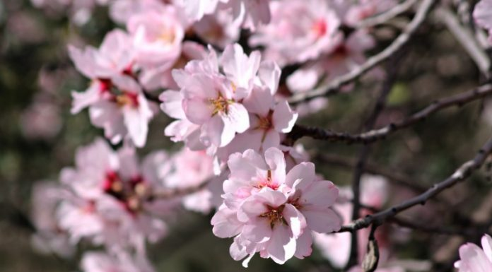 Almond Tree - Flower Of The Almond Tree - Mediterranean