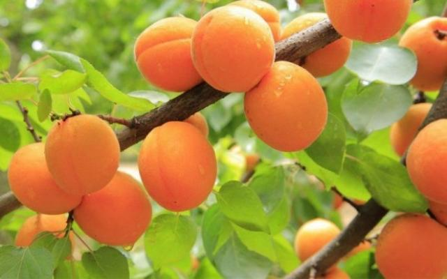 Uzbekistan is one of the first in the world by apricot production