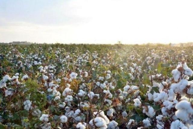 Senators study violation cases in the regions when attracting cotton pickers