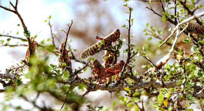 Desert Locust resurgence worries in Horn of Africa, reports UN agency