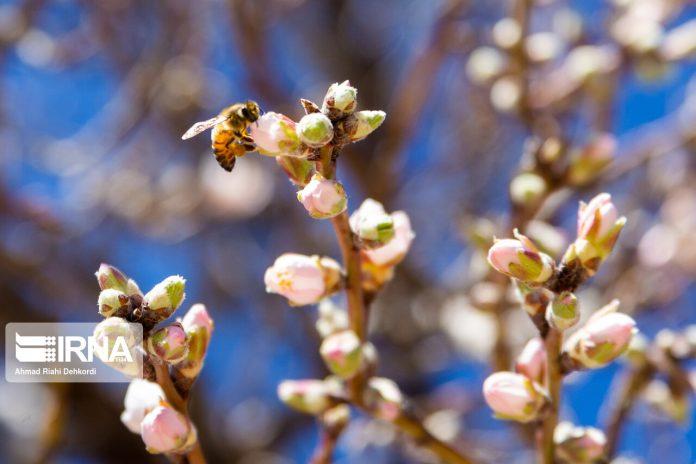 Trees blossom in Iran even in winter